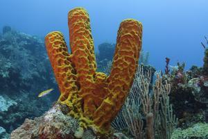 Convoluted Barrel Sponge, Hol Chan Marine Reserve, Belize by Pete Oxford