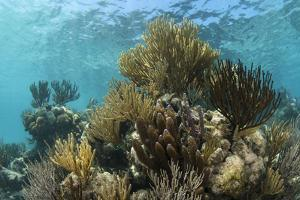 Coral Reef, Ambergris Caye, Belize by Pete Oxford