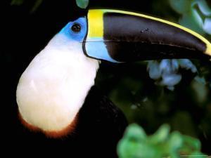 Cuviers Toucan, Amazon, Ecuador by Pete Oxford