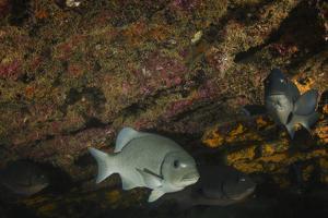 Dusky Chub (Girella Freminvillei) Galapagos Islands, Ecuador by Pete Oxford
