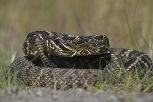 Eastern Diamondback Rattlesnake, Little St Simons Island, Georgia by Pete Oxford
