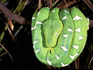 Emerald Tree Boa, Amazon, Ecuador by Pete Oxford