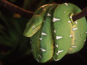 Emerald Tree Boa (Corallus Canina), Ecuador, Amazon, South America by Pete Oxford