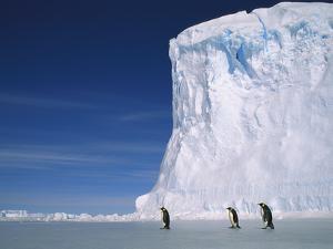 Emperor Penguins (Aptenodytes Forsteri), Antarctica by Pete Oxford
