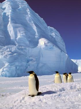 Emperor Penguins, Cape Darnley, Australian Antarctic Territory, Antarctica by Pete Oxford