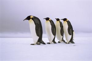 Emperor Penguins Walking In A Row, Antarctica by Pete Oxford