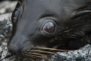 Galapagos Fur Seal, Galapagos Islands, Ecuador by Pete Oxford