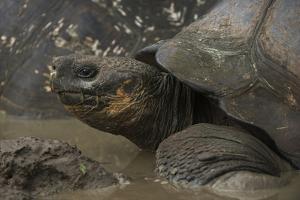 Galapagos Giant Tortoise Santa Cruz Island, Galapagos Islands, Ecuador by Pete Oxford