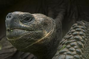 Galapagos Giant Tortoise Santa Cruz Island Galapagos Islands, Ecuador by Pete Oxford