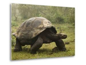 Galapagos Giant Tortoise With Tui De Roy Near Alcedo Volcano, Isabela Island, Galapagos Islands by Pete Oxford