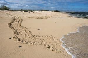 Galapagos Green Sea Turtle Tracks. las Bachas, Galapagos, Ecuador by Pete Oxford