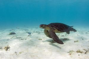 Galapagos Green Sea Turtle Underwater, Galapagos Islands, Ecuador by Pete Oxford