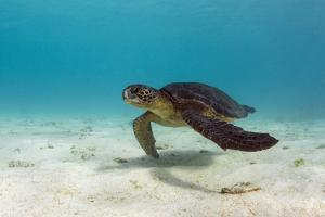 Galapagos Green Sea Turtle Underwater, Galapagos Islands, Ecuador by Pete Oxford