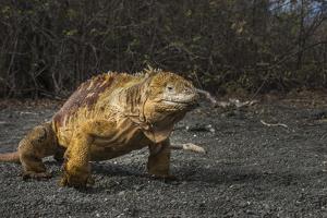 Galapagos Land Iguana, Urvina Bay Isabela Island, Galapagos, Ecuador by Pete Oxford