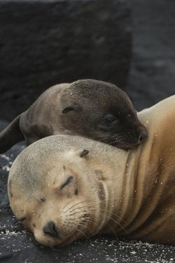 Galapagos Sea Lion Mom and New Pup, Rabida Island, Galapagos, Ecuador by Pete Oxford