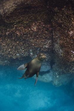 Galapagos Sea Lion Underwater, Galapagos, Ecuador by Pete Oxford