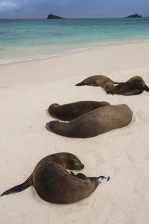 Galapagos Sea Lions Gardner Bay, Hood Island, Galapagos, Ecuador by Pete Oxford
