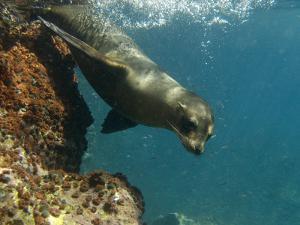 Galapagos Sealion, Gardner Bay, Española Island, Galapagos Islands, Ecuador by Pete Oxford