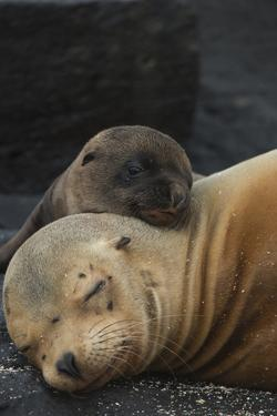 Galapagos Sealion (Zalophus Wollebaeki) Mother And Pup Resting On Beach, Galapagos by Pete Oxford
