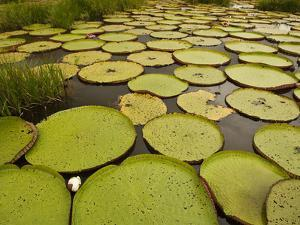 Giant Amazon Water Lily, Savannah Rupununi, Guyana by Pete Oxford