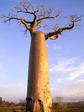 Giant Baobab Tree, Morondava, Madagascar by Pete Oxford
