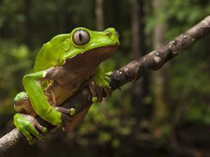 Giant Leaf Frog in the Rainforest, Iwokrama Reserve, Guyana by Pete Oxford