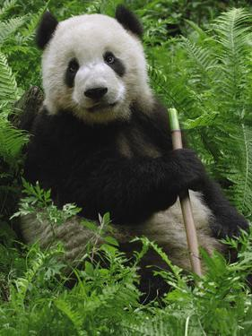 Giant Panda (Ailuropoda Melanoleuca) Eating Bamboo, Wolong China Conservation by Pete Oxford