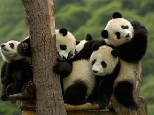 Giant Panda Babies, Wolong China Conservation and Research Center for the Giant Panda, China by Pete Oxford