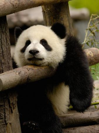 Giant Panda Baby, Wolong China Conservation and Research Center for the Giant Panda, China by Pete Oxford