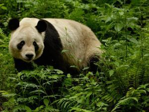 Giant Panda Family, Wolong China Conservation and Research Center for the Giant Panda, China by Pete Oxford