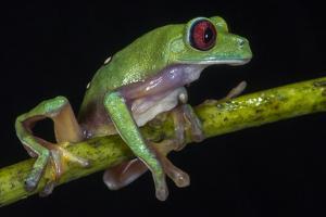 Gliding Leaf Frog, Choco Region, Ecuador by Pete Oxford