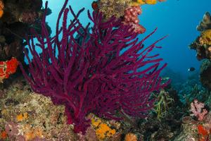 Gorgonian Soft Coral (Gorgonacea), Rainbow Reef, Fiji by Pete Oxford