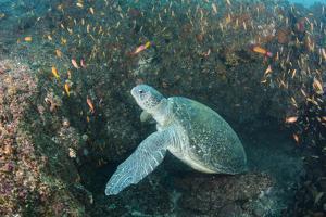 Green Sea Turtle, Aliwal Shoal, Umkomaas, KwaZulu-Natal, South Africa by Pete Oxford