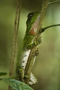 Guichenot's Dwarf Iguana, Yasuni NP, Amazon Rainforest, Ecuador by Pete Oxford
