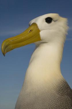 Head Portrait Of Waved Albatross (Phoebastria Irrorata) Punto Cevallos by Pete Oxford