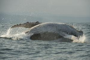 Humpback Whale, Sardine Run, Eastern Cape South Africa by Pete Oxford