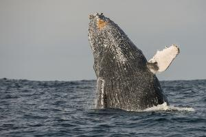 Humpback Whale, Sardine Run, Eastern Cape, South Africa by Pete Oxford