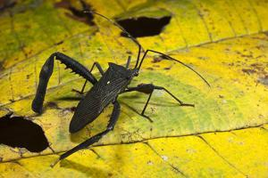 Leaf-Footed Bug, Yasuni NP, Amazon Rainforest, Ecuador by Pete Oxford