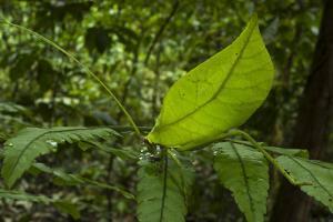 Leaf Katydid, Yasuni NP, Amazon Rainforest, Ecuador by Pete Oxford