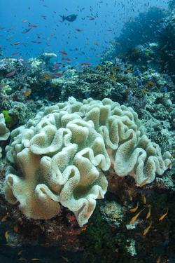 Leather Coral (Alcyonacea), Fiji. Coral Reef Diversity by Pete Oxford