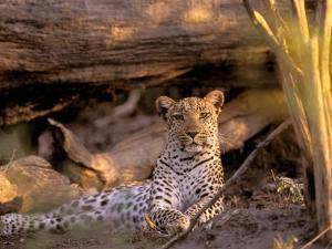 Leopard, Okavango Delta, Botswana by Pete Oxford