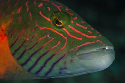 Lined Cheeked Wrasse (Oxycheilinus Digrammus), Rainbow Reef, Fiji by Pete Oxford