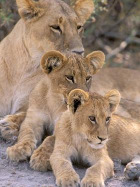 Lioness and Cubs, Okavango Delta, Botswana by Pete Oxford