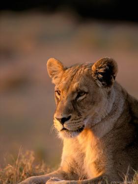 Lioness, Okavango Delta, Botswana by Pete Oxford