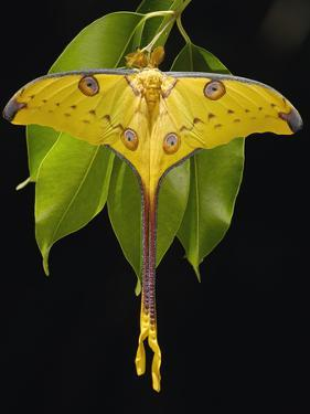 Madagascar Moon Moth or Comet Moth (Argema Mittrei) on Jamun (Eugenia Jambolana) Leaves by Pete Oxford