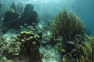 Mahogany Snapper and Grunts, Hol Chan Marine Reserve, Belize by Pete Oxford