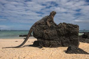 Marine Iguana (Amblyrhynchus Cristatus), Galapagos Islands, Ecuador by Pete Oxford