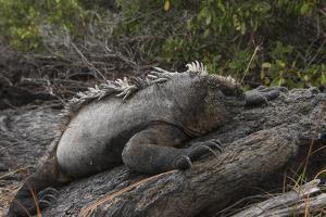 Marine Iguana (Amblyrhynchus Cristatus) Galapagos Islands, Ecuador by Pete Oxford