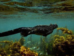 Marine Iguana (Amblyrhynchus Cristatus) Swimming, Fernandina Island, Galapagos Islands by Pete Oxford