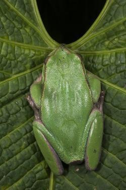 Marsupial Frog, Andean, Ecuador by Pete Oxford